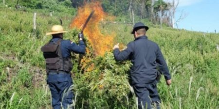 Narcótica da policia realiza destruição de plantação de Maconha na Fronteira com o MS