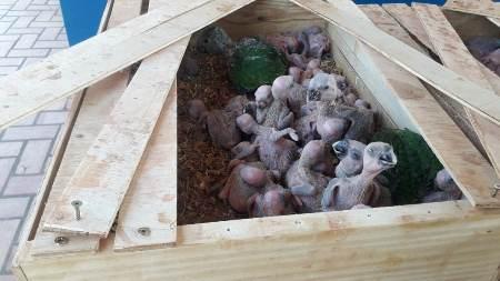 Polícia Militar Ambiental traficante autua em R$ 750 mil traficante de papagaios preso pela Polícia Militar de Bataguassu
