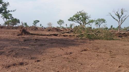 Polícia Militar Ambiental de Bela Vista autua infratora em R$ 8,7 mil por derrubada de diversas árvores nativas ilegalmente
