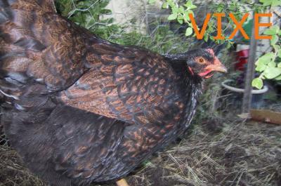 """Combustível de """"titica"""" de galinha é alternativa ao petróleo"""